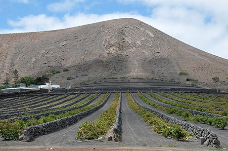 volcanic vineyard